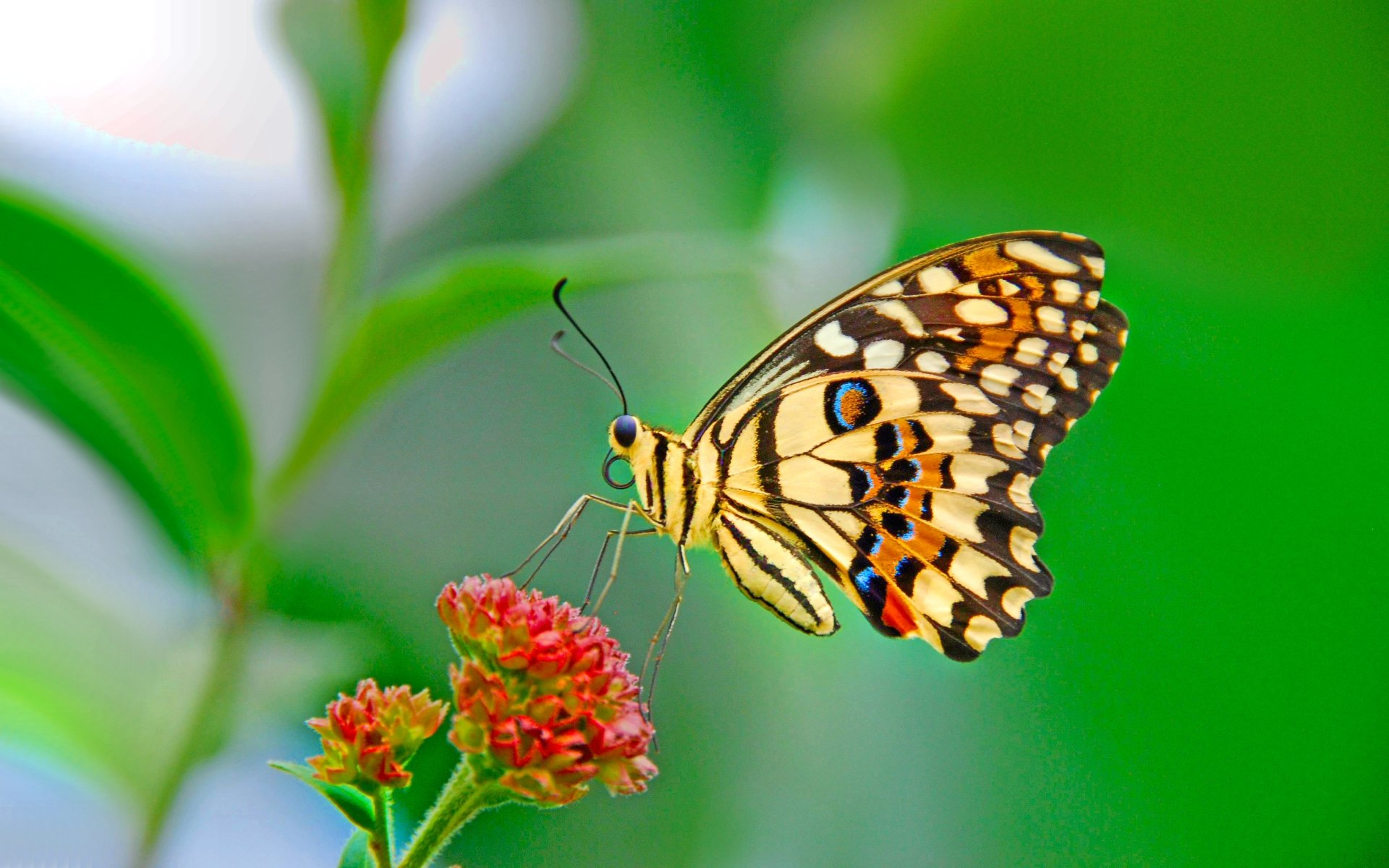 15 Colorful Butterfly Wallpapers For Desktop Magtemplates